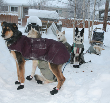 Outback Riders Mushing dogs waiting patiently.